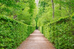 green foliage background in the Park. Natural green hornbeam leaf walls. Natural green hornbeam tunnel. Beautiful green leaves hornbeam fence background