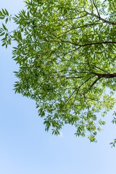 Green foliage of a tree against a blue sky from the bottom up.