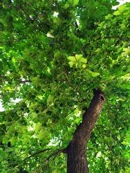 Green foliage of a tree. Bottom view. Close-up.