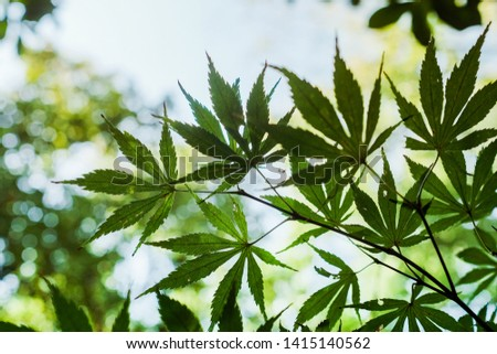 Green foliage of mapple on a blurry background of foliage #1415140562