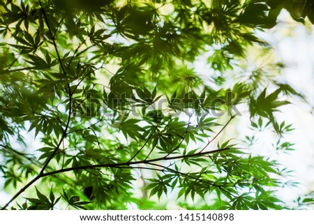 Green foliage of mapple on a blurry background of foliage #1415140898