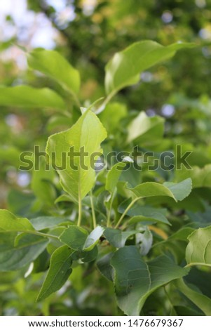 Green foliage. Summer foliage.Summer nature. Tree leaves. #1476679367