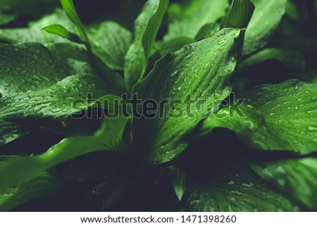 Green foliage with large leaves glistening with raindrops.