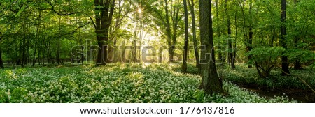 Green forest in summer at sunrise. Panorama of a secluded glade with sun rays shining onto a sea of ramsons. White bear's garlic flowers in tree shade. Stock fotó ©