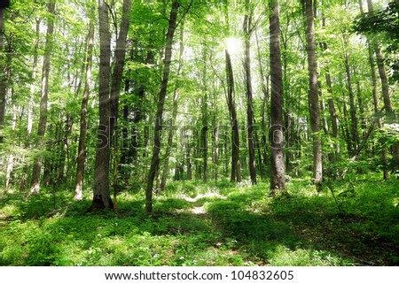 Green forest landscape with sunbeams in the summer morning