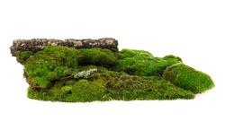 Green forest moss on rotten tree branch, white background.
