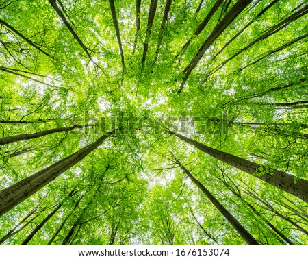 Green Forest of Beech Trees, looking up, low angle shot