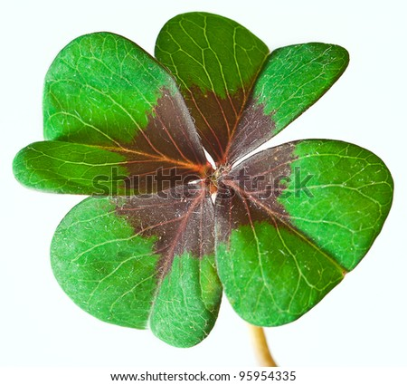 green four leaf clover isolated on white