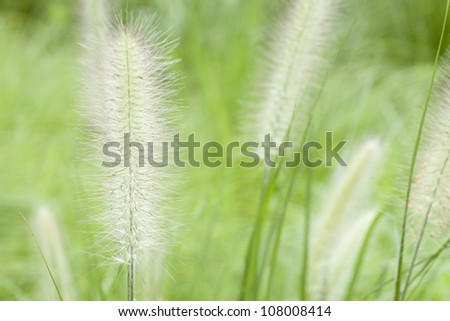 green foxtail grass in the park - stock photo