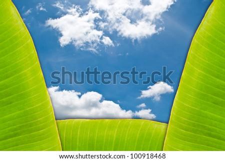 Green fresh banana leaf with blue sky. - stock photo