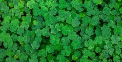 green fresh clovers in a fir forest