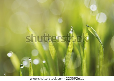 green fresh grass in morning dew with natural bokeh