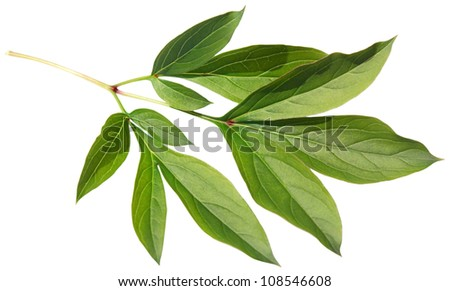 Green fresh leaf of a peony isolated on a white background