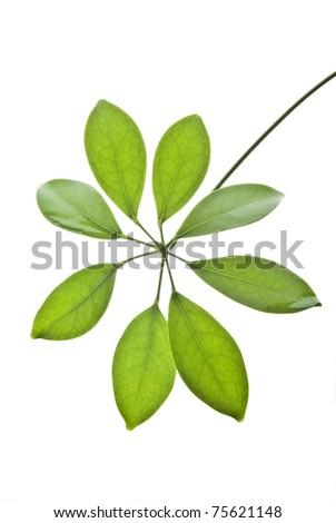 Green fresh leaves on white background