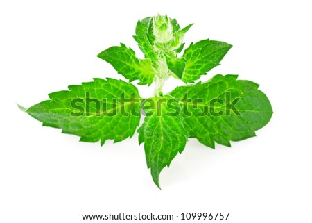 Green fresh mint leaves isolated on white background