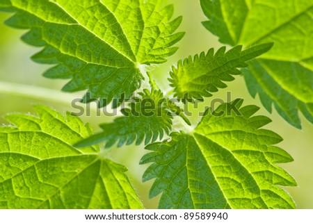 green fresh nettle close up