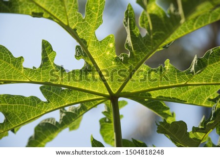 Green fresh papaya plant grass closeup for background ,closeup nature view of green papaya leaf