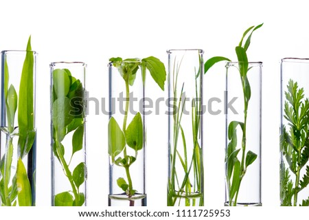 Green fresh plant in glass test tube in laboratory on white background. Close up macro.