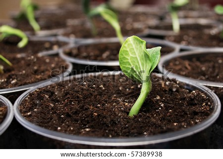 Green fresh pumpkin sprouts in the pots - stock photo