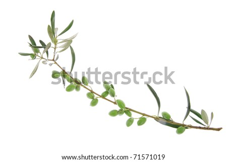 green fresh raw olives on branch over white