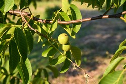 Green fresh walnuts at sunset. Walnut tree leaves in summer. Unripe walnuts growing on a tree in orchard, close up.