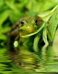 Green frog at a pond's edge