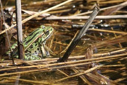 Green Frog by a Pond with it's back to the camera