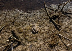 Green frog camouflage nature wildlife. Toad in natural habitat. The true frog ranidae. Frog anura