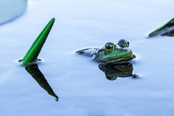 Green frog floating in water next to lily pad leaf