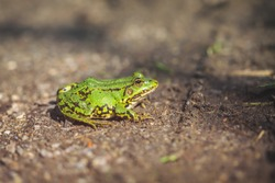 Green Frog - forest trail
