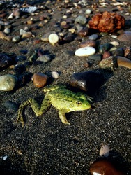 Green frog from the Black Sea