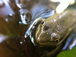 Green frog in nature habitat. Wildlife scene from nature, green animal in water, sitting in a pond. Green frog in water. Natural background. Green frog on the water surface. Close-up.