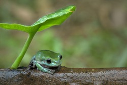 Green frog is sitting under the leaf