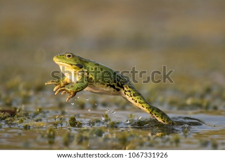 Photo of  Green frog jump on a beautiful light. Pelophylax ridibundus
