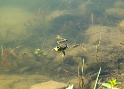 Green frog (lat. Pelophylax) swims in a pond, a frog swims on the water and looks, top view of an amphibian animal, the summer period of frog populations
