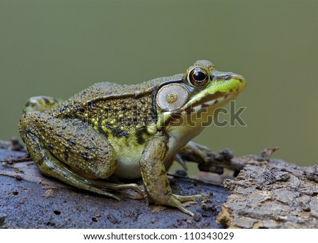 Green Frog, Lithobates clamitans, on log in a wetland / pond at Tyler State Park, Bucks County, Pennsylvania