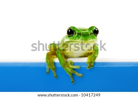 Green frog looking out of blue cooking pot