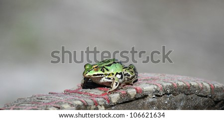 Green frog on a sole sneakers.Edible green frog (Rana esculenta), is a medium-thick-set tailless animals, up to 12 cm in length, but usually smaller.Edible green frog on the sole sneakers.