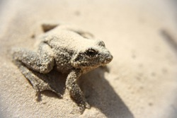Green frog on the sand