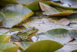Green frog (Pelophylax) in a pond in The Netherlands in the spring