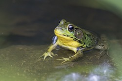 Green frog (Rana clamitans)