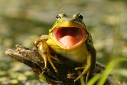 Green Frog (Rana clamitans) with mouth open in Pinery Provincial Park, Ontario