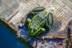 Green frog sitting on a wooden board, top view