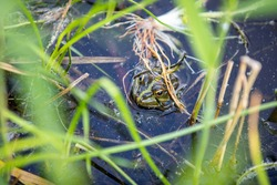 Green frog swims in the water in a swamp. Croaks loudly, blowing bubbles. Courtship games. Nature and fauna in the summer.