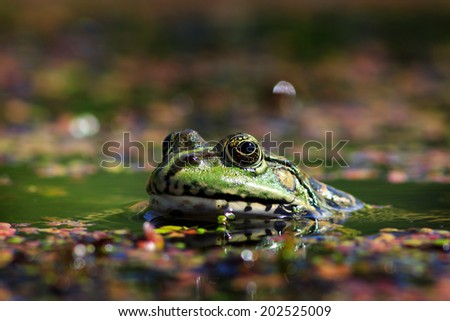 Green frog with lake looking into the camera lens