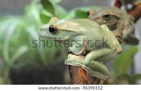 green Frogs on brunch