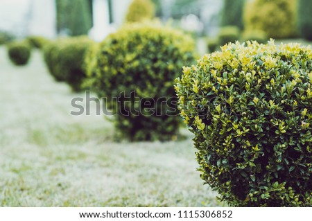 Green garden balls of boxwood. Landscape designe. Park with shrubs