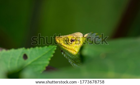 Green garden crested lizard camouflage behind the leaf