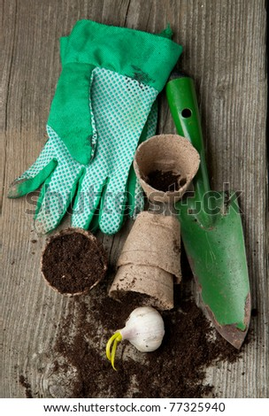Green garden spade, gloves and pots with soil and garlic on old wooden desk