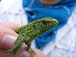 Green gecko. exotic animal. macro